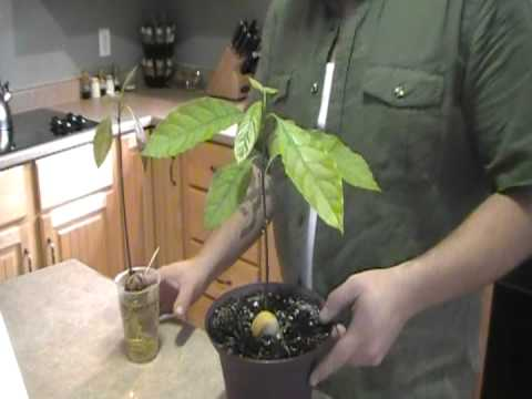 How To Grow Avocado Trees From Seed !